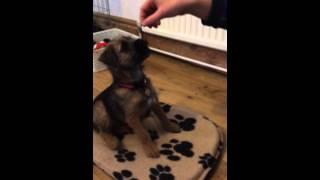 Betty Border Terrier - 12 Weeks - Puppy Tricks Part 2