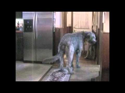 Irish Wolfhounds Welcoming Family Home
