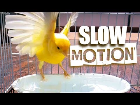 Canary Bird taking a Bath in Slow Motion