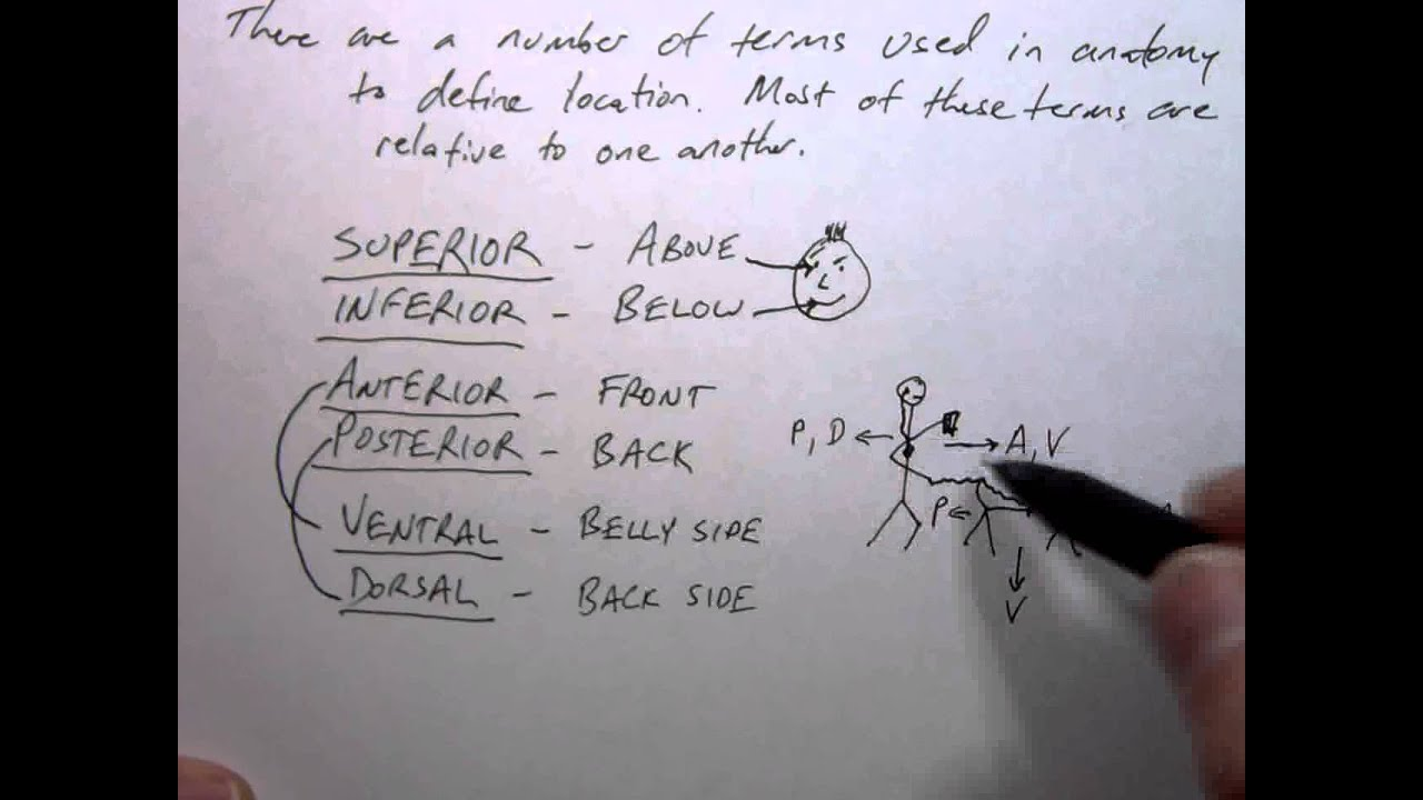 Anatomy Lecture 1-3 Orientation in the body - Directional Terms ...