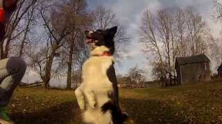 4 border collies + GoPro 2 + frisbee + a short break in the countryside