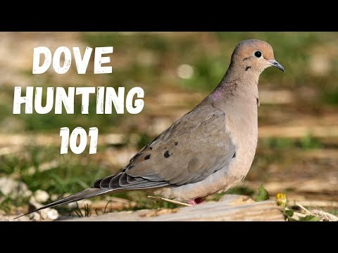 Dove Hunting 101 (For Beginners)
