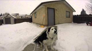 Leila the Border Collie's Snow Day- Gopro Hero 3+