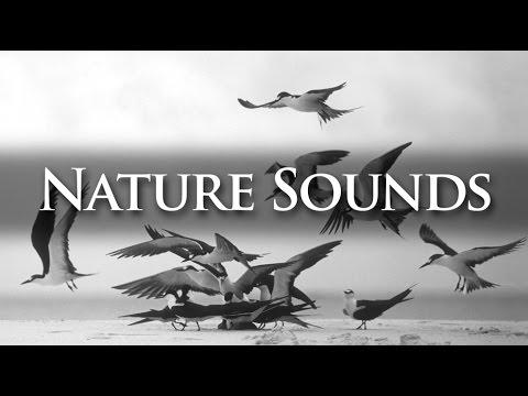 Nature Sounds | Sooty Terns @ Bird Island, Seychelles