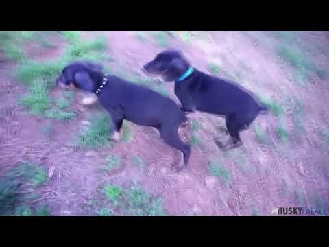 Doberman Pinscher Puppies Running | Husky Palace