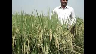 Performance of Hybrid Paddy Signet Buland (Signet 5050) at Karnal, Haryana