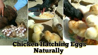 Hen Hatching Eggs to Chicks | Baby Chicks Hatching | VIP PETS | Unique Pets World