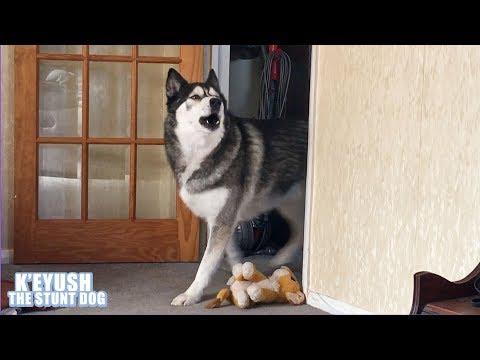 Husky Came, HE SANG, He Left! | Dramatic Dog!