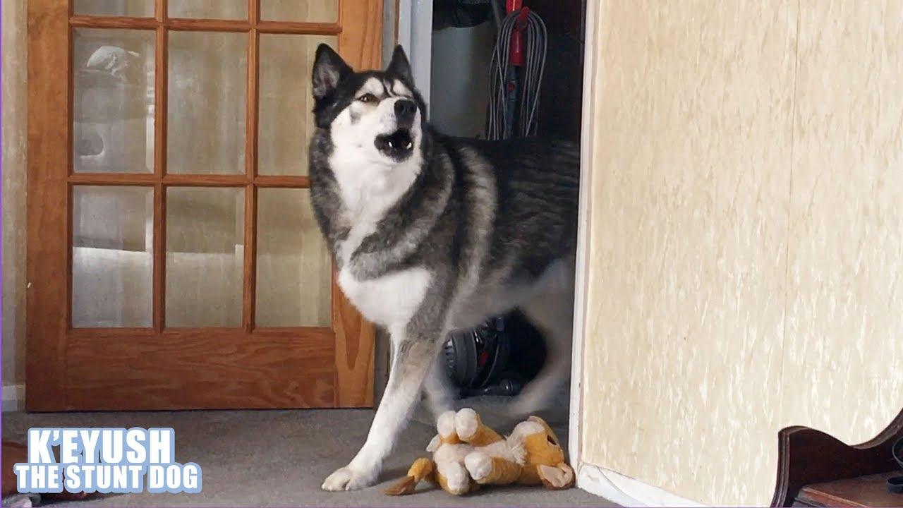 Husky Came, Husky SANG, Husky Left! | Dramatic Dog!