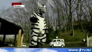 地震でシマウマ逃走、東京の動物園の防災訓練。シマウマの着ぐるみを着...