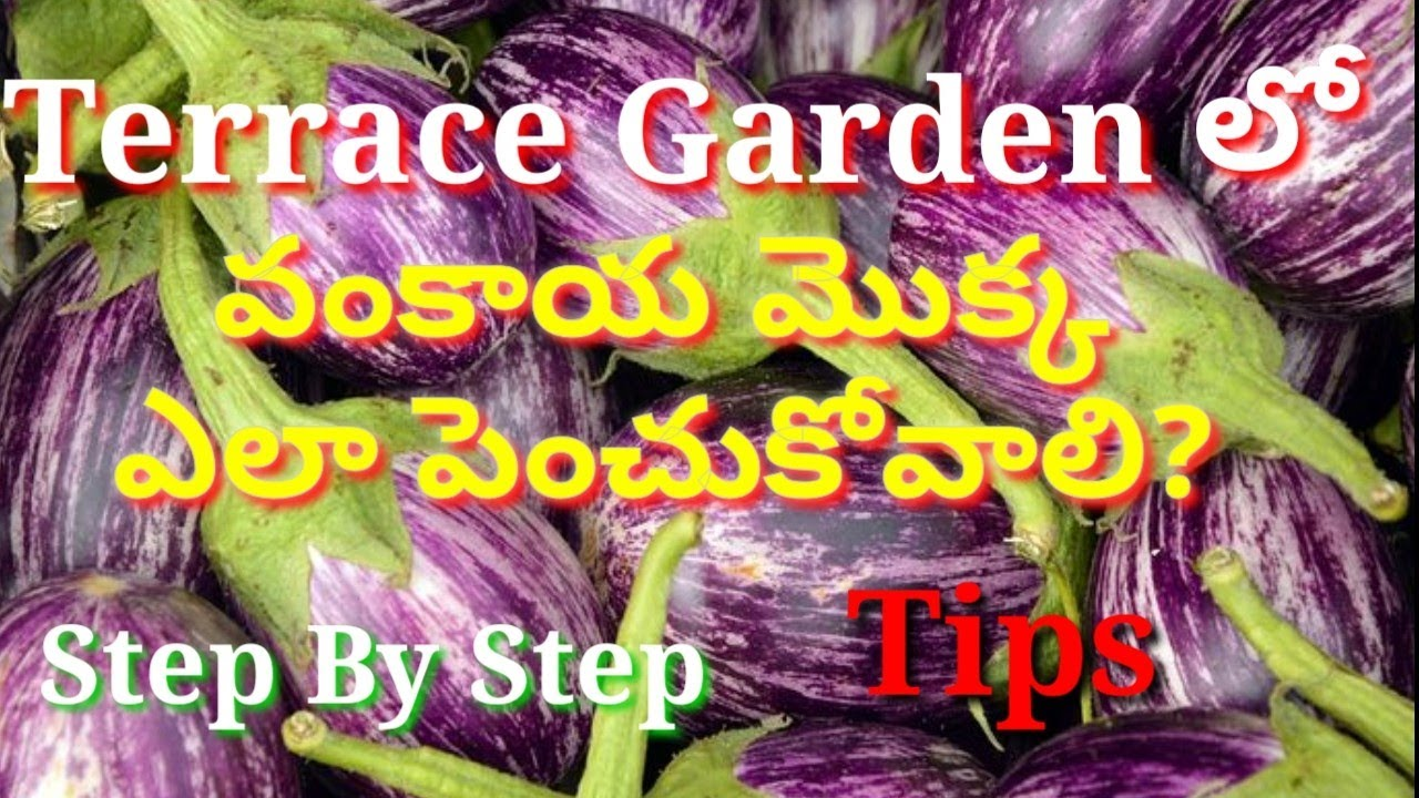 How To Grow Brinjal Plant At Home In Telugu Nagaraju Terrace Gardening Garden Tips Youtube