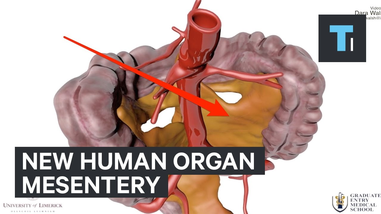 Why New Human Organ Called Mesentery Is So Important Youtube