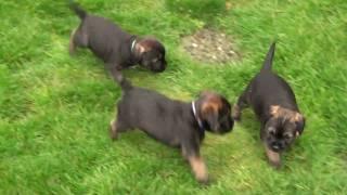 Kilcreggan Border Terrier Puppies - 5 Weeks Old