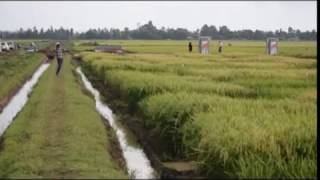 KALRO announces new high yield rice varieties
