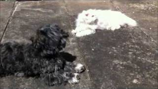 Scottish Fold Cat & Maltese X Westie Dog Montage