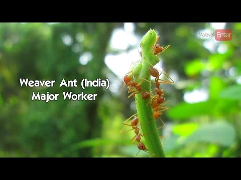 Weaver ant (India) #Nature Info1