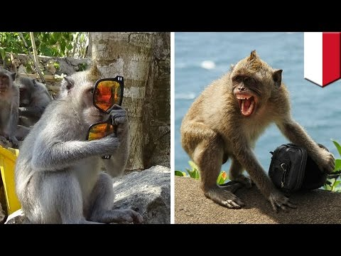 Monkey thieves: troop of monkeys in Bali observed stealing goods and bartering for food - TomoNews