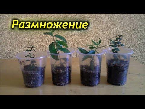 Как размножить миртовое дерево! Размножение мирта.