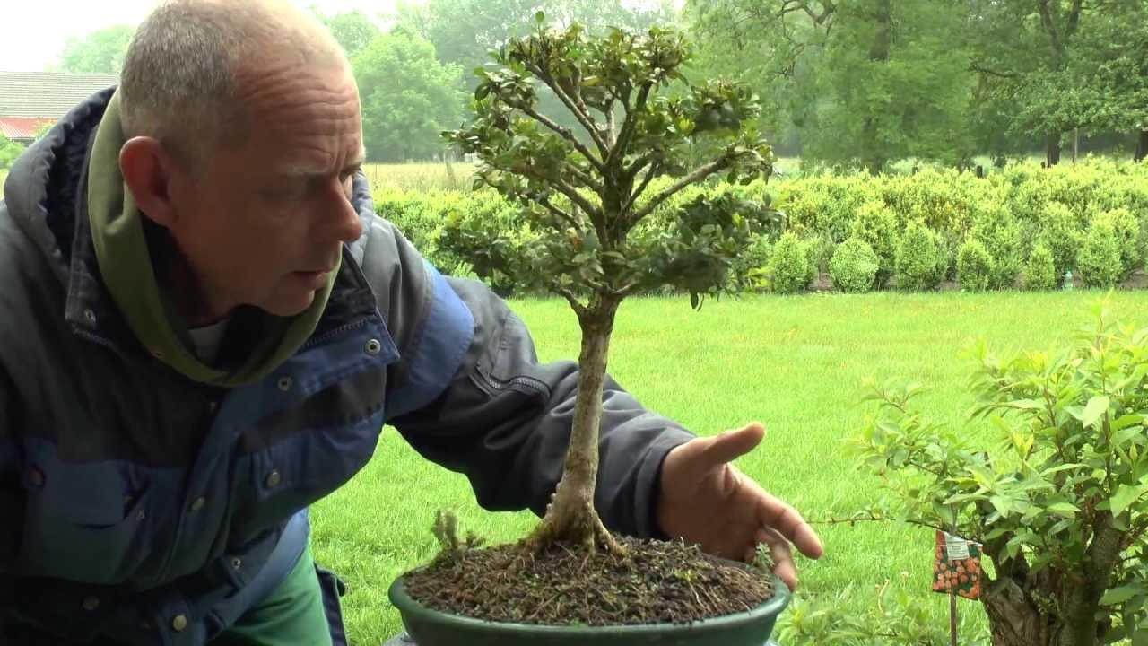 bonsai buchsbaum boxwood update youtube. Black Bedroom Furniture Sets. Home Design Ideas