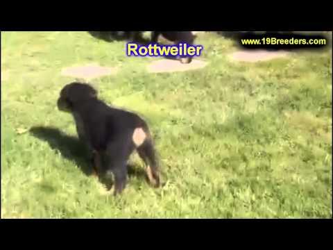 Rottweiler, Puppies, For, Sale, In, East Honolulu, Hawaii, HI, Makaha, Pukalani, Haiku Pauwela, Mail