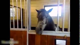 Best Funny Horse Videos Compilation 2014 1 Самые смешные Лошади Видео Компиляция 2014 1(смешное видео про животных куча отличных нарезок про наших любимцев которые стоит посмотреть! Подписывайт..., 2015-02-14T15:31:40.000Z)