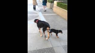 Puppy Rottweiler training by senior Rottie with cancer