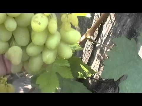 Сорт винограда Злата - сезон 2015