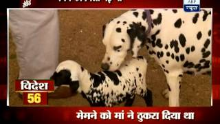 How A Dalmation Takes Care Of A Lamb
