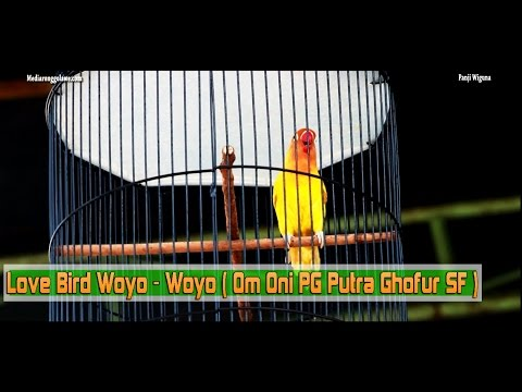 SUARA BURUNG : Aksi Woyo - Woyo Di Kelas Love Bird A Irvando Jeans Garuda Cup 2 Kendal