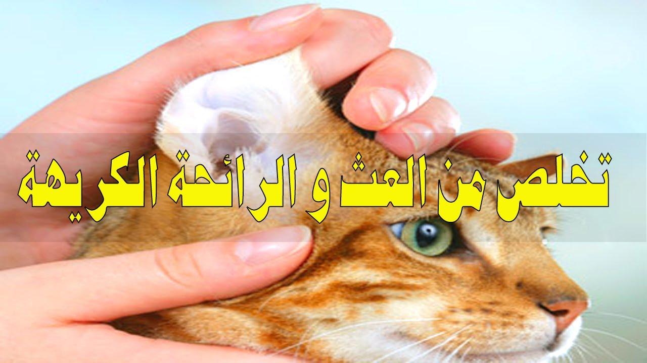 تنظيف اذن القطط بطريقة سهلة ولاتسبب مشاكل Youtube