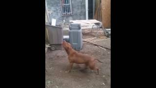 Red nose pitbull workout