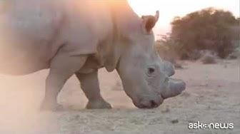Rinoceronte bianco:  per evitare l'estinzione in campo anche l'azienda Avantea di Cremonaa