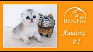 Ямайка - нежная лапушка // Шотландские котята