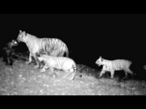 Tigress spotted with five cubs in Tamil Nadu