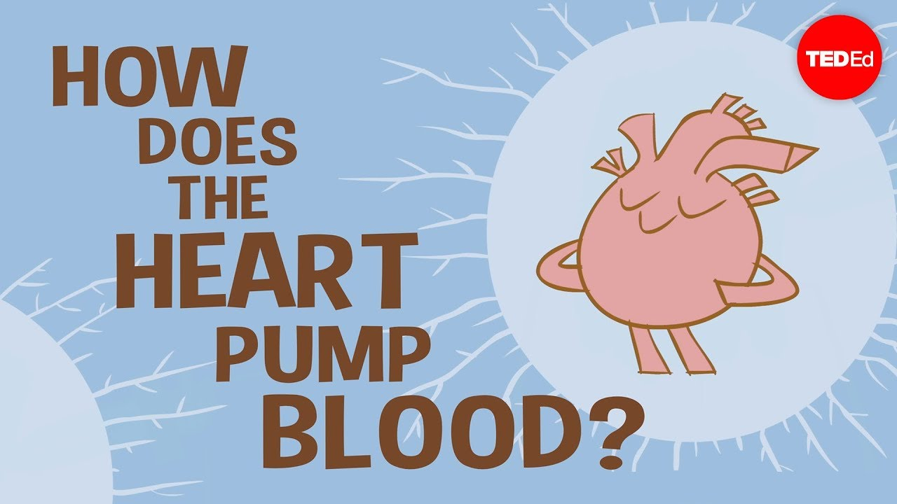 medium resolution of How the heart actually pumps blood - Edmond Hui - YouTube