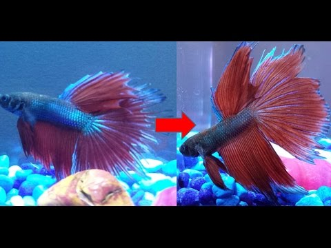 Halfmoon Betta Recovery After Ripped Fins