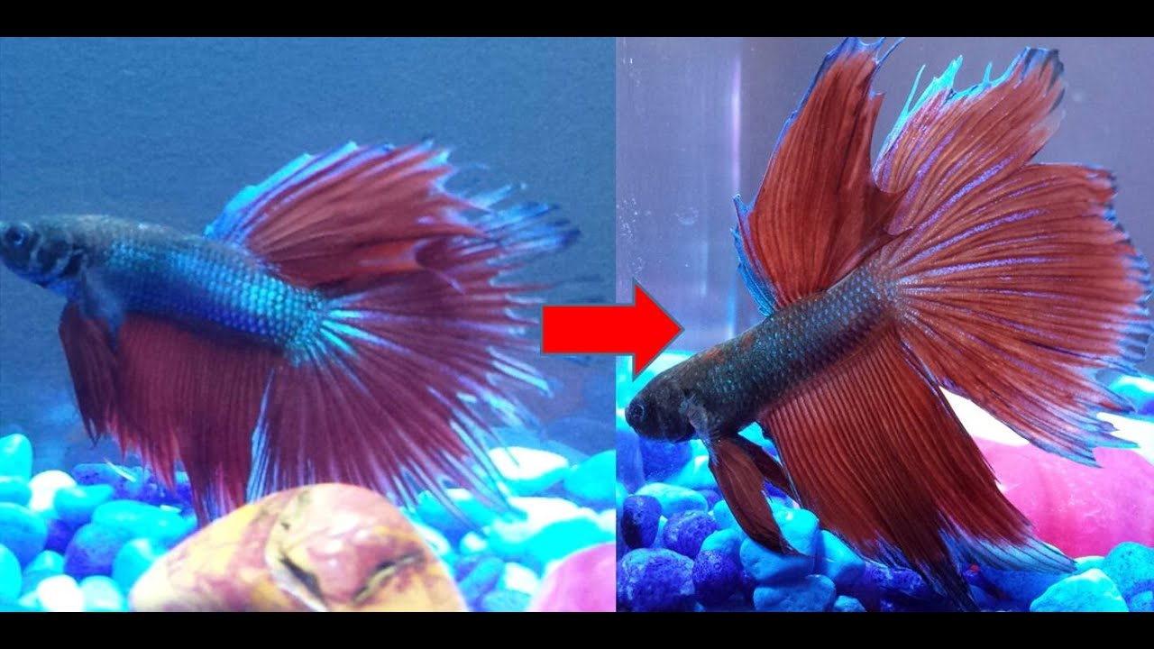 Fin Rot Betta | Halfmoon Betta Recovery After Ripped Fins Youtube