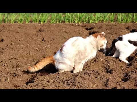 畑のしろ Cat field