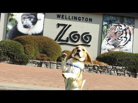 Beagle excited by smells outside Zoo!