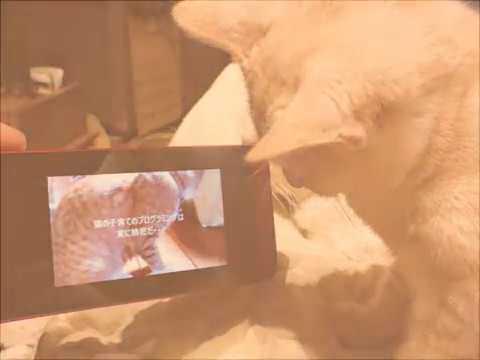【猫オモシロ珍動画!】自分と家族が出演するYou tubeを鑑賞し狂喜する子猫「ミヨコ」生後5か月~趣味:ビデオ鑑賞