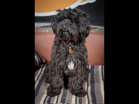 Mabel - Tibetan Terrier - 3 Weeks Residential Dog Training