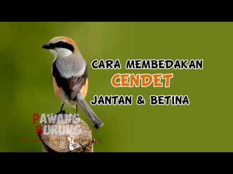 Ciri Burung Cendet Jantan Betina Youtube