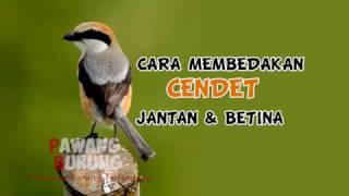 CIRI BURUNG CENDET JANTAN & BETINA