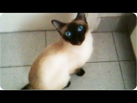 Amazing Cat | Siamese Opens Door [EXCLUSIVE]