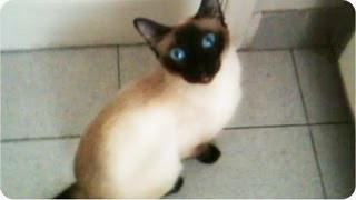 Amazing Cat | Siamese Opens Door [EXCLUSIVE]