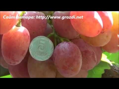 Сорт винограда: Анюта   виноград   саженцы   купить   видео   анюта