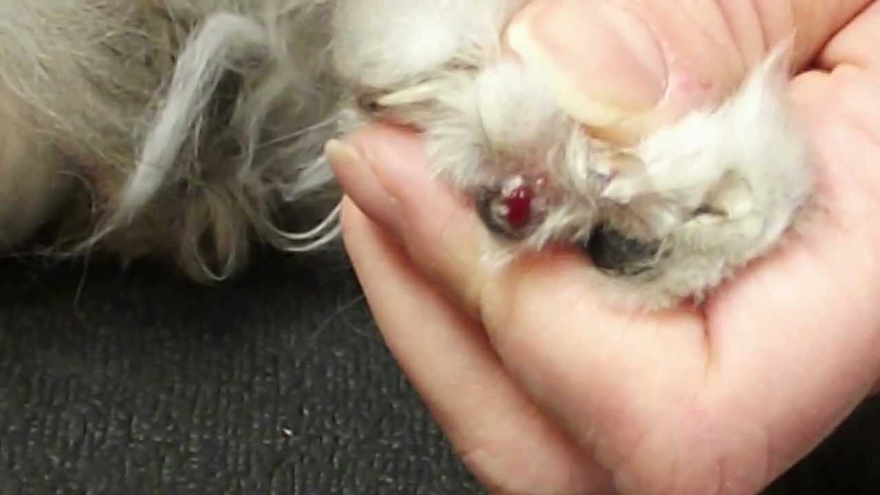 Clipping an ingrown nail on a cat