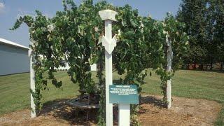 Vineyard Site Selection   Part 5 -  The Backyard Vineyard - Grape Video #46