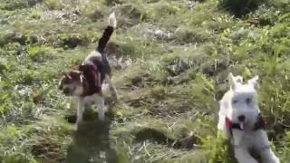 河川敷愛犬ワイヤーフォックステリアのバロン、ビーグルのルーク 元気い...