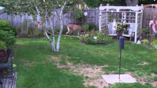Dare are Dear Deer in Der Yard Daring You